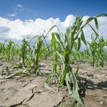 Jelentős károk érték a mezőgazdaságot az esőzések és a jég miatt Békésben
