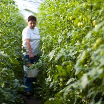 A hajtató paprikakertészek nagyon jó, a szabadföldi termesztők közepes évet zárnak