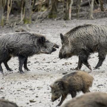 Agrárkamara: a vadállatok által okozott kár egyre nagyobb probléma az országban