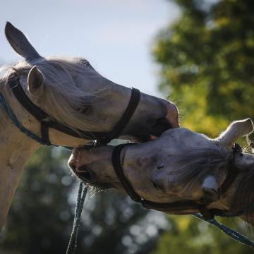 Csikósverseny is lesz a kiskunfélegyházi Nyeregszemlén