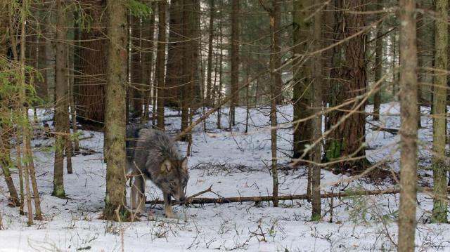 Friss felvételek egy hazai farkas családról