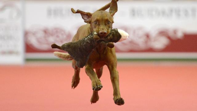 Igazi nemzeti kincsek a magyar kutyafajták