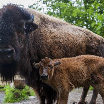 Kisbölény született a Körös-Maros Nemzeti Parkban