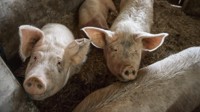 További áfacsökkentést szorgalmaz a sertéságazat