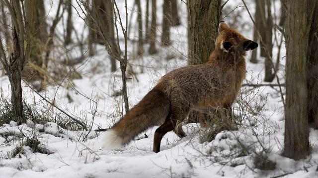 Holnap indul a rókák veszettség elleni vakcinázása