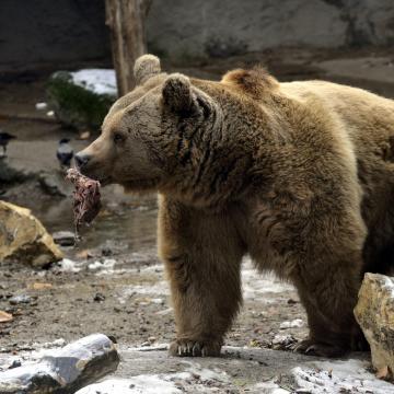 Barnamedve érkezett a pécsi állatkertbe