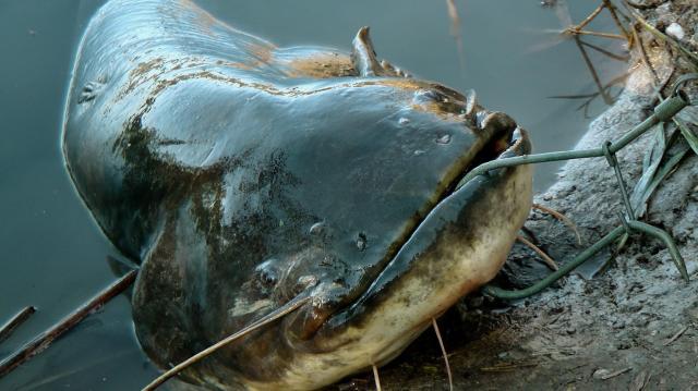 A harcsa az év hala