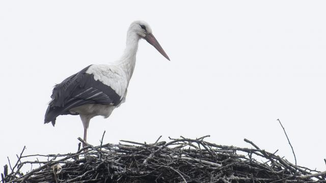 Már Törökországban jár Báró, az első gólya
