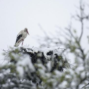 Csütörtökön még fázni fog ez a gólya