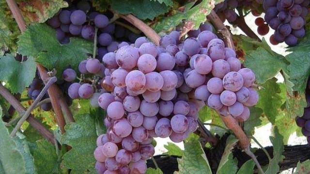 Bakator bor- és gasztrofesztivál: hungarikum lehet a bakator