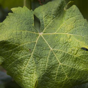 Felszámolják a gondozatlan szőlőültetvényeket