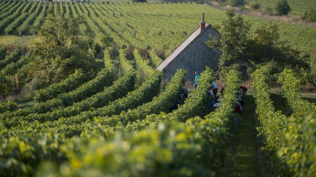 Több borra és kiváló évjáratra számítanak idén a borászok