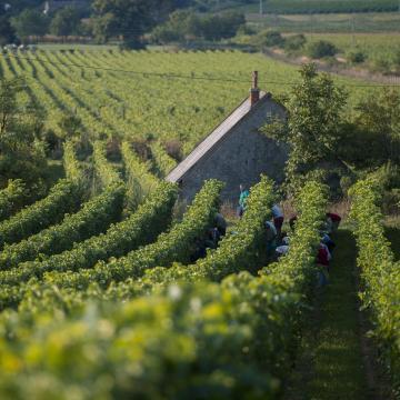 Közel 4,1 millió mázsa szőlőtermés várható