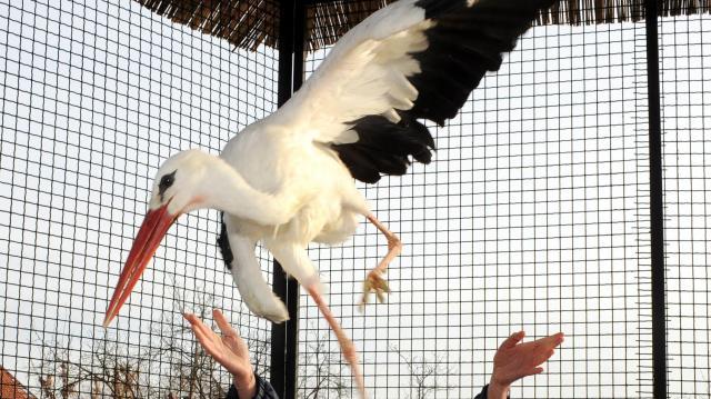 Röpdében edzik a gólyafiakat az afrikai túrára