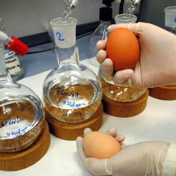 Szennyezett tojás - Nébih: Magyarországra is érkezett fipronillal szennyezett tojás és tojástermék