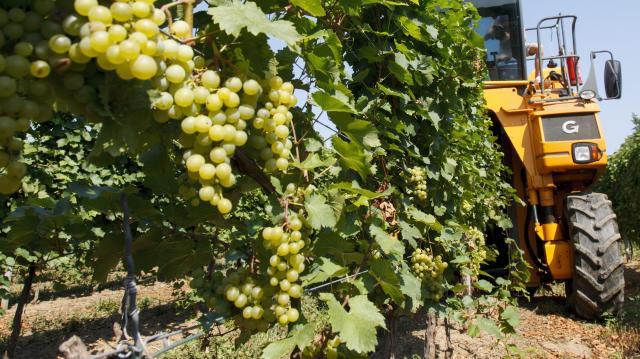 Nő a kereslet térségünk magnélküli csemegeszőlője iránt