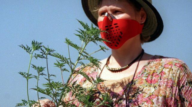 Pollenhelyzet - A hétvégén országszerte tombol a parlagfű pollenkoncentráció