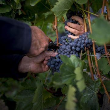 A korai szüret és terméskiesés ellenére is kiváló a szőlő minősége