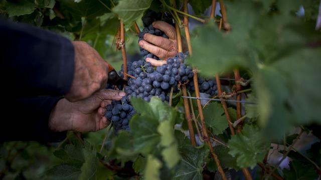 Kiemelkedő minőségű bortermés várható az idén