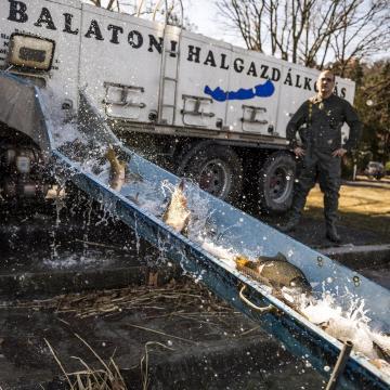 Idén ősszel már 47 tonna ponty került a Balatonba