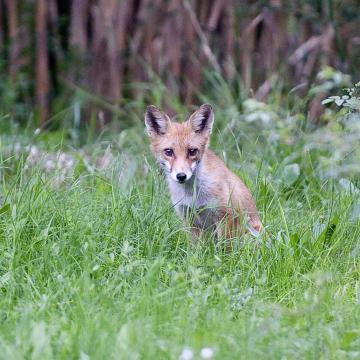 Szombaton kezdődik a rókák őszi vakcinázása