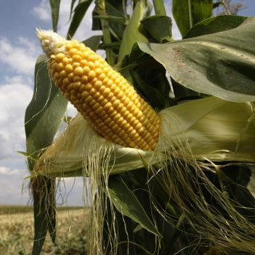 Kukoricából és napraforgóból is jobb a termés minősége, mint tavaly
