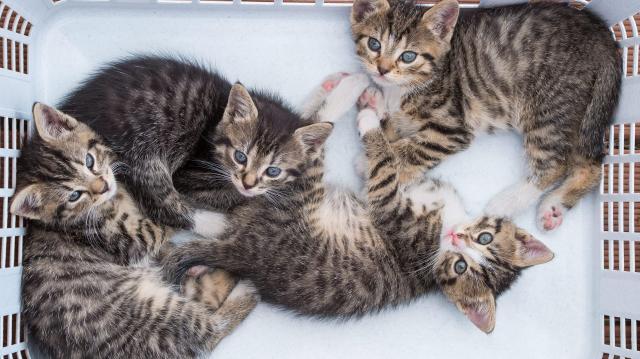 Bukás a Nébih teszten - Hatástalanok a macskáknak szánt bolhairtók