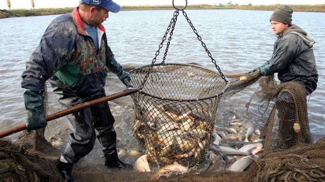 Hálóban a szálkamentes fajták - Több hal lesz karácsonyra, mint amennyit meg bírunk enni