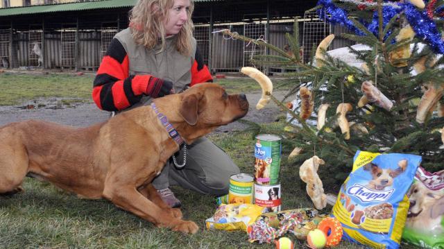 Karácsonykor, ha nem vigyázunk a kutyák betegre eszik magukat csokival