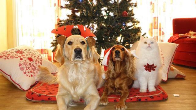 Karácsonykor négyszer gyakoribb a kutyáknál a csokoládémérgezés
