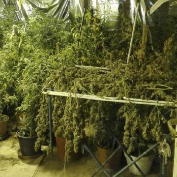 Több száz tő cannabist termesztettek Ócsán - VIDEÓVAL