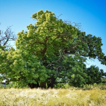 Zengővárkony győztes szelídgesztenyéje versenyez idén az év európai fája címért