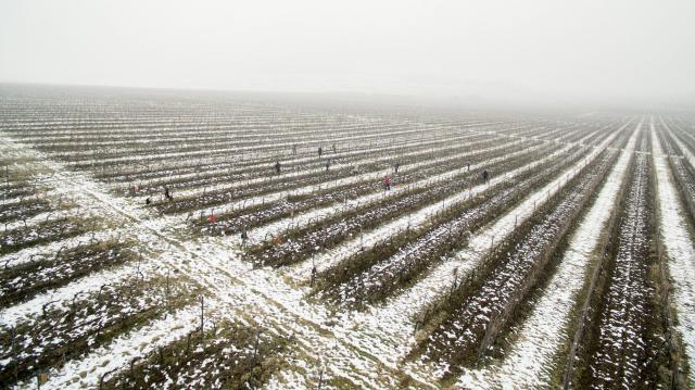 Metszik a szőlőt Villányban