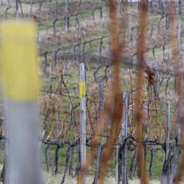 Térségünk után Pécsen támadta meg a szőlőt az aranyszínű sárgaság