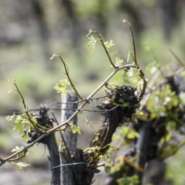 Zárlatot rendeltek el Pécsen a szőlő aranyszínű sárgasága miatt