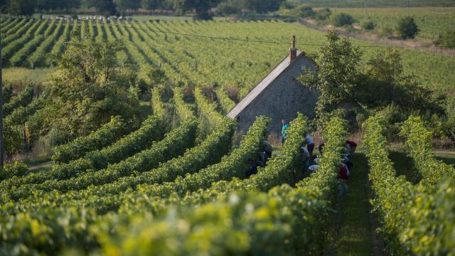 Húszezer hektárnyi szőlőterület újult meg 2010 óta