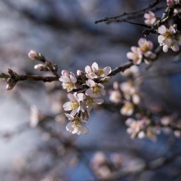 Már virágoznak a mandulafák Pécsen
