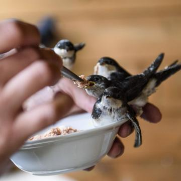 Fészekleverés helyett fecskepelenkát javasolnak a madárvédők