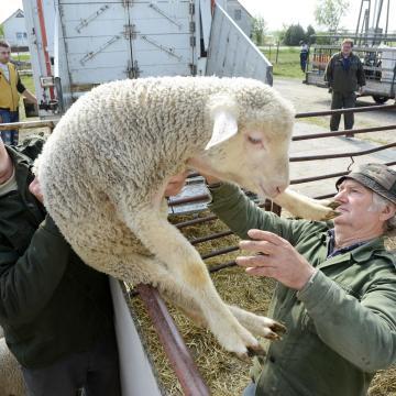 Húsvét - A korai húsvét és az olasz kereslet változása miatt csökkenhet idén a bárányexport