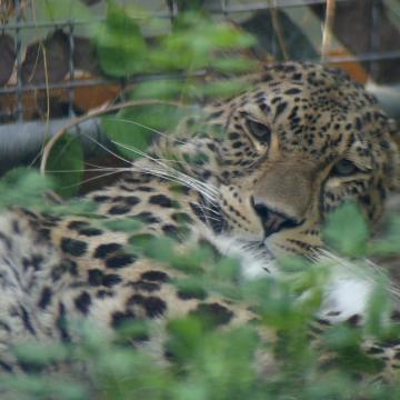 Perzsa leopárddal gazdagodott a pécsi állatkert