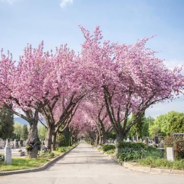 Így virágoznak a cseresznyefák Pécsen