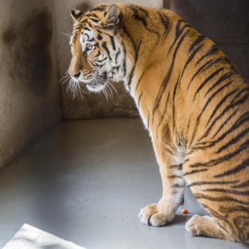 Megműtötték a Szegedi Vadaspark tigrisét