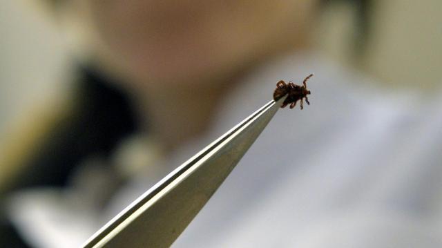 Egyre több a Lyme-kórt terjesztő kullancs