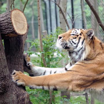 Javul a Szegedi Vadaspark tigrisének állapota