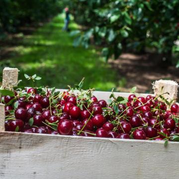 A tavalyinál jobb meggytermésre számít idén az Agrárkamara