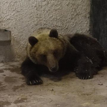 A Szegedi Vadasparkban gondozzák a befogott medvét