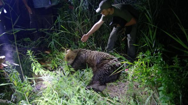 Állatorvos vizsgálja meg a kóborló medvét