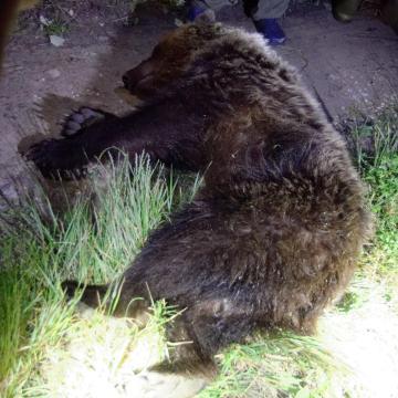 Szabadon engedték a kóborló medvét a szlovák-magyar határ közelében