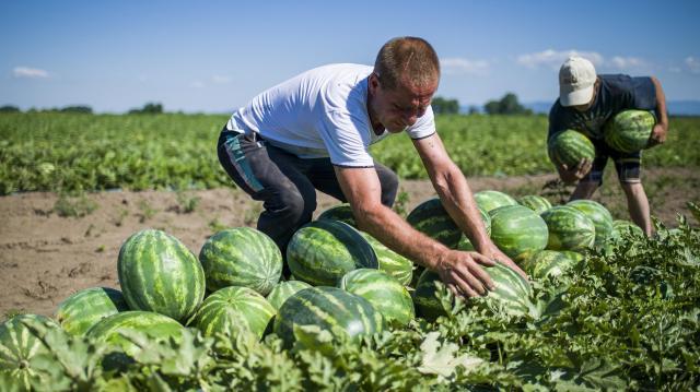 Már kapható a magyar dinnye a legtöbb áruházláncnál