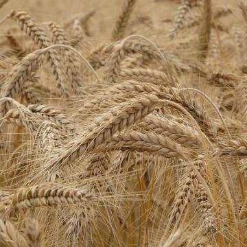 Országos átlag feletti a vasi búza mennyisége és minősége